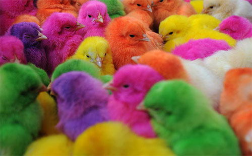 colored chicks by fernlicht