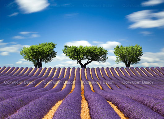Lavender field, France by Beboy_photographies
