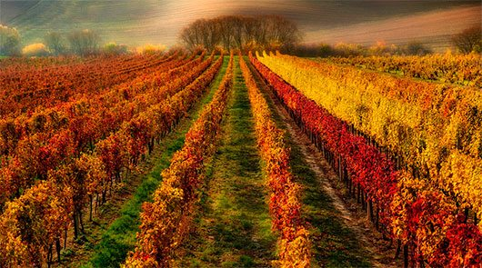 Vineyard painted by autumn... by Pawel Kucharski